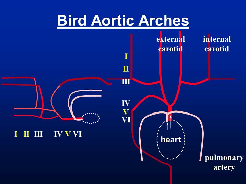 Bird Aortic Arches heart I II III IV V VI internal carotid external carotid pulmonary artery I II III IV V VI