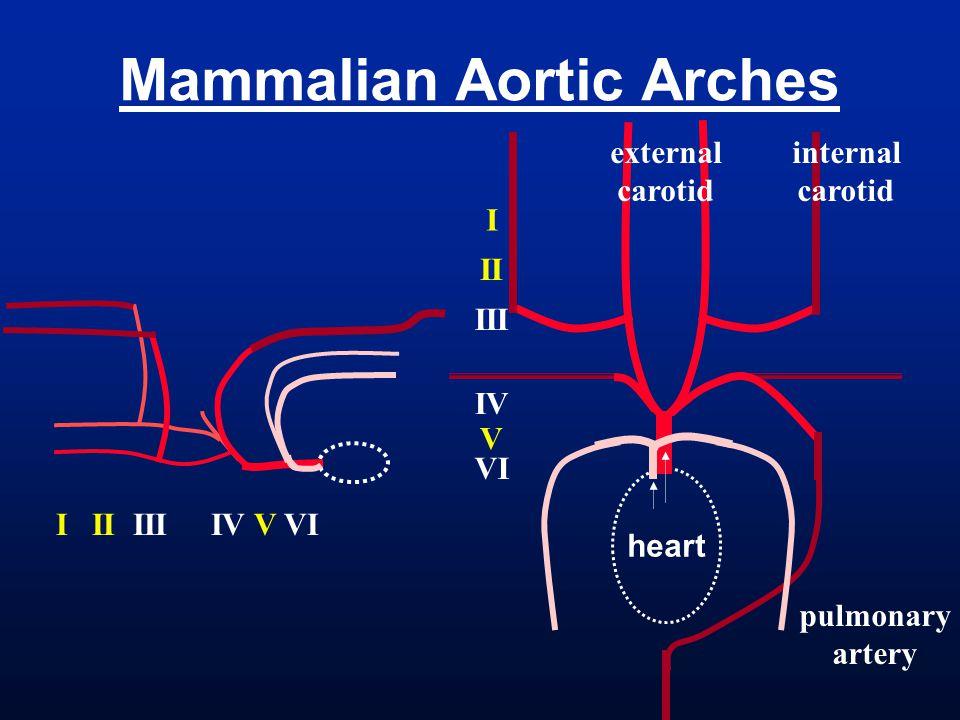Mammalian Aortic Arches heart I II III IV V VI internal carotid external carotid pulmonary artery I II III IV V VI