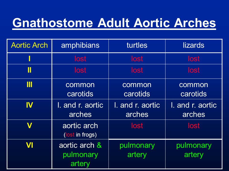 Gnathostome Adult Aortic Arches Aortic Archamphibiansturtleslizards Ilost IIlost IIIcommon carotids IVl. and r. aortic arches Vaortic arch (lost in fr