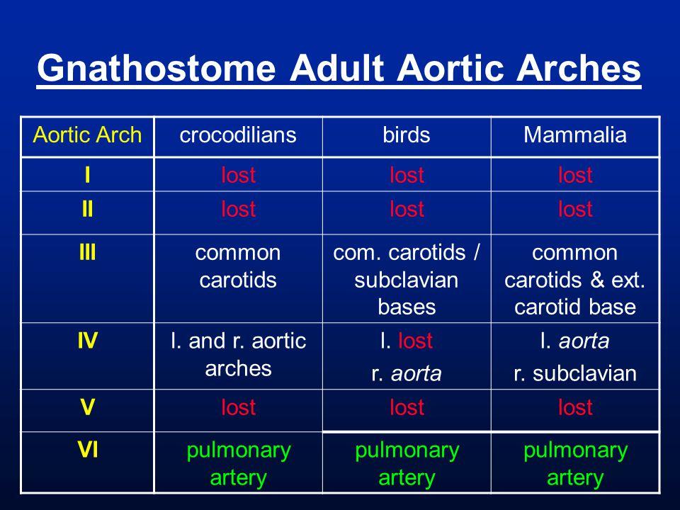 Gnathostome Adult Aortic Arches Aortic ArchcrocodiliansbirdsMammalia Ilost IIlost IIIcommon carotids com. carotids / subclavian bases common carotids