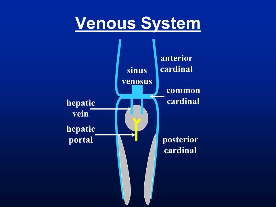 sinus venosus hepatic vein hepatic portal anterior cardinal posterior cardinal common cardinal
