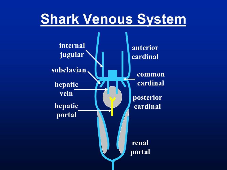 Shark Venous System anterior cardinal posterior cardinal common cardinal renal portal internal jugular subclavian hepatic vein hepatic portal