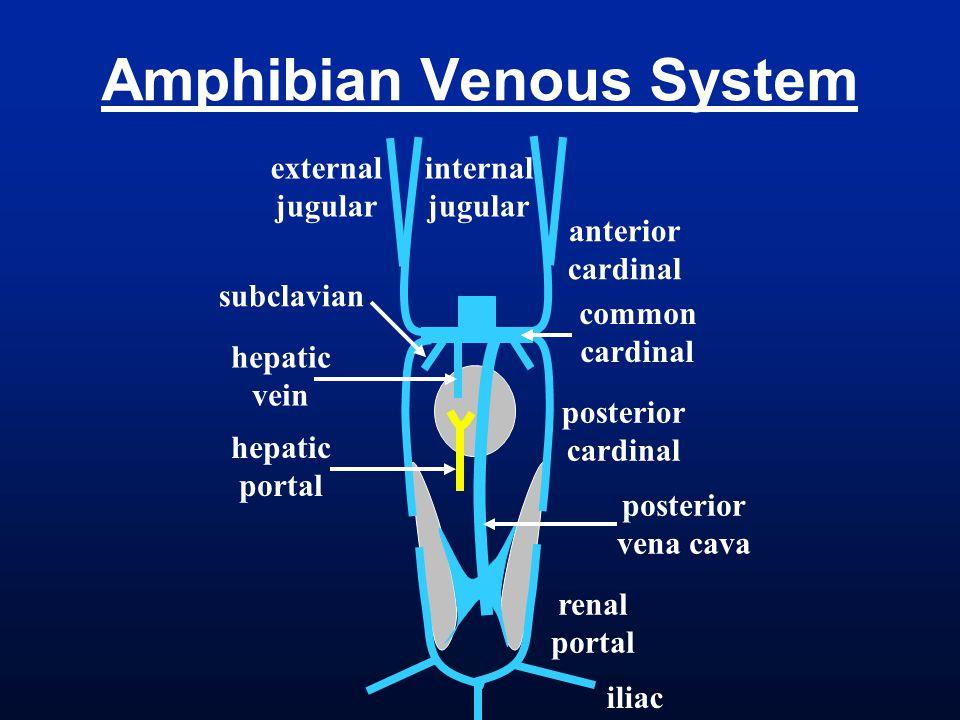 posterior cardinal Amphibian Venous System anterior cardinal common cardinal renal portal hepatic vein hepatic portal subclavian internal jugular exte
