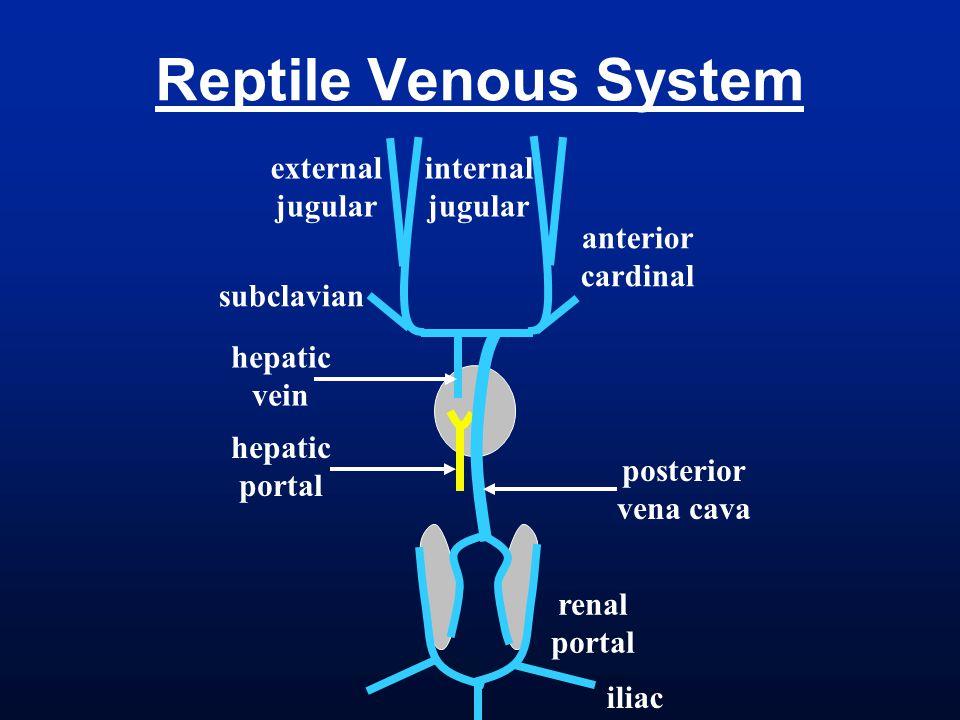 Reptile Venous System anterior cardinal renal portal hepatic vein hepatic portal internal jugular external jugular posterior vena cava iliac subclavia
