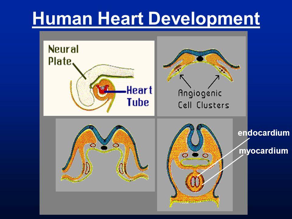 Human Heart Development endocardium myocardium