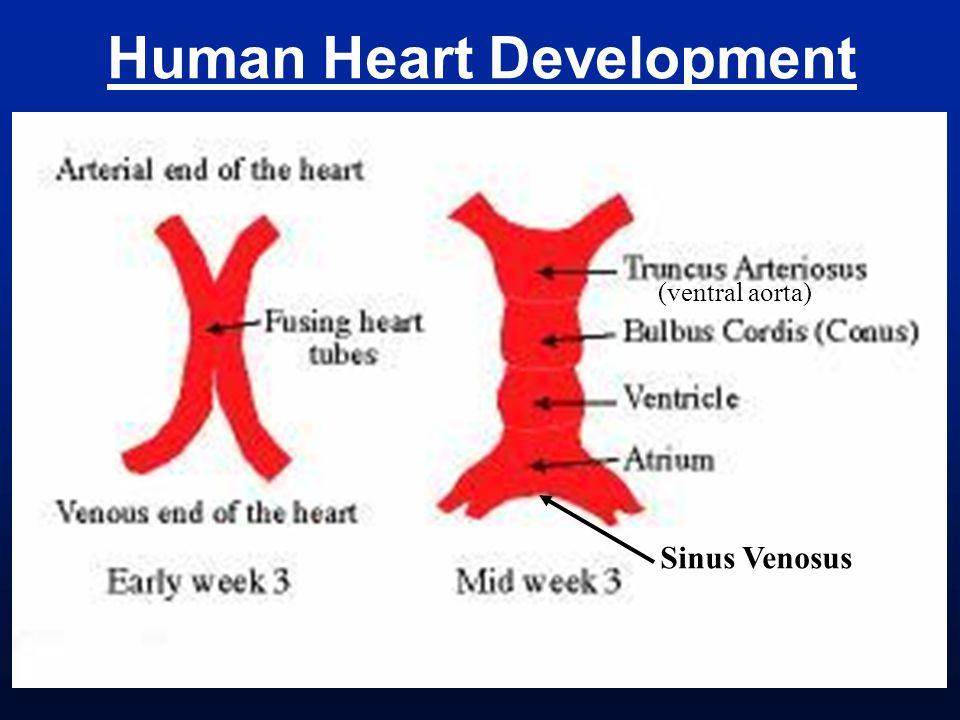 Human Heart Development Sinus Venosus (ventral aorta)