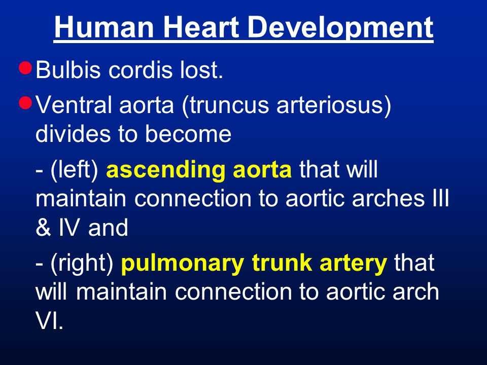  Bulbis cordis lost.  Ventral aorta (truncus arteriosus) divides to become - (left) ascending aorta that will maintain connection to aortic arches I