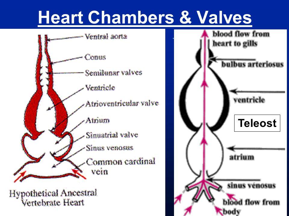 Heart Chambers & Valves Teleost