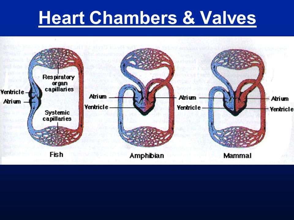 Heart Chambers & Valves