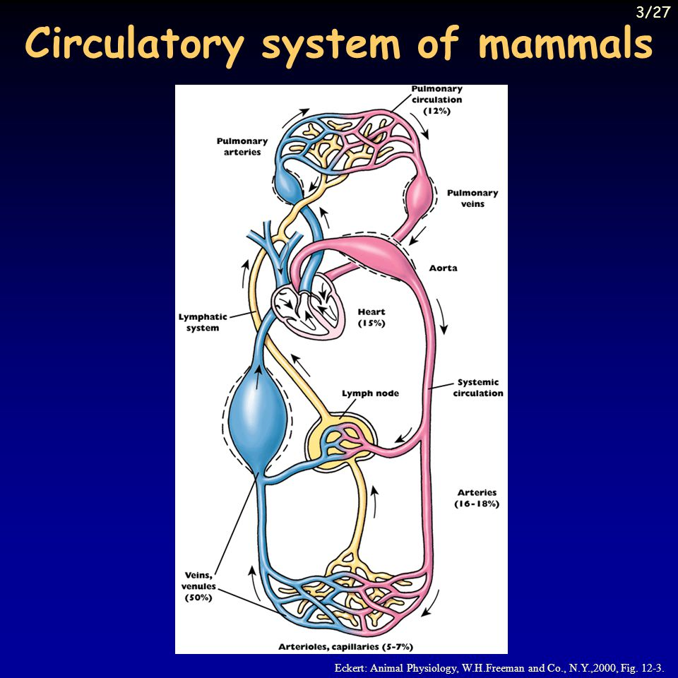 Skeletal muscle circulation 40-50% of body mass (young man), 20 % of circulation strong exercise: circulation 20 l, muscles get 80% at rest: central regulation, during exercise: metabolic - K +, adenosine (?), H + on blood vessels not only  1 adrenoreceptors, but  2 as well – more sensitive for adrenalin - dilatation main effect still constriction stimulation of the limbic system, hypothalamus, cortex – in some species dilatation - cholinergic sympathetic fibers role: preparation for exercise, simulated death redistribution of blood flow during exercise – overall vasoconstriction (resistance), venous contraction (volume) – percentages change, but increase of cardiac output more important 24/27
