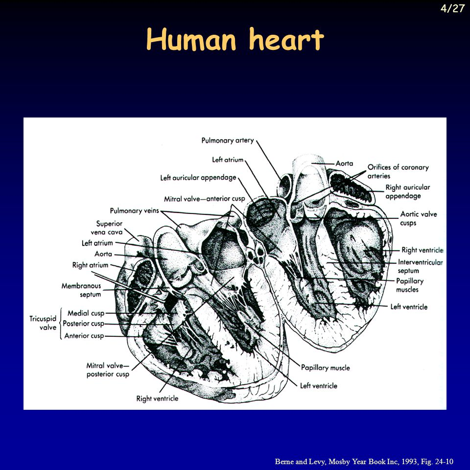Human heart Berne and Levy, Mosby Year Book Inc, 1993, Fig. 24-10 4/27