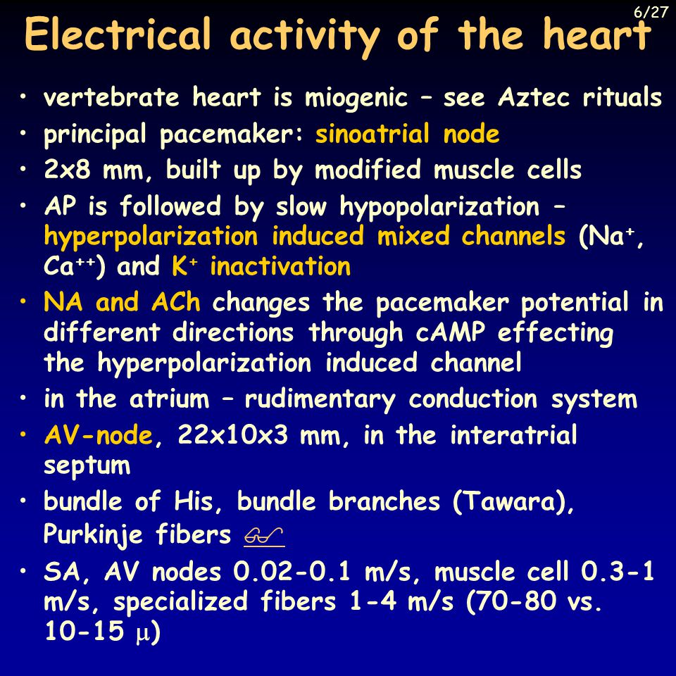 Electrical activity of the heart vertebrate heart is miogenic – see Aztec rituals principal pacemaker: sinoatrial node 2x8 mm, built up by modified muscle cells AP is followed by slow hypopolarization – hyperpolarization induced mixed channels (Na +, Ca ++ ) and K + inactivation NA and ACh changes the pacemaker potential in different directions through cAMP effecting the hyperpolarization induced channel in the atrium – rudimentary conduction system AV-node, 22x10x3 mm, in the interatrial septum bundle of His, bundle branches (Tawara), Purkinje fibers   SA, AV nodes 0.02-0.1 m/s, muscle cell 0.3-1 m/s, specialized fibers 1-4 m/s (70-80 vs.