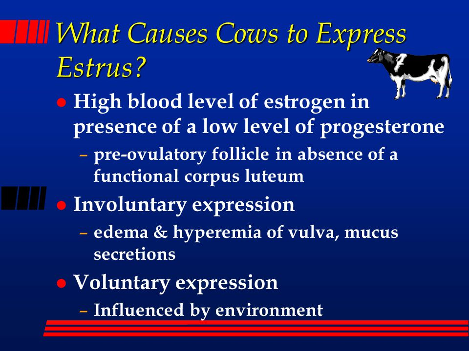 What Causes Cows to Express Estrus? l High blood level of estrogen in presence of a low level of progesterone – pre-ovulatory follicle in absence of a