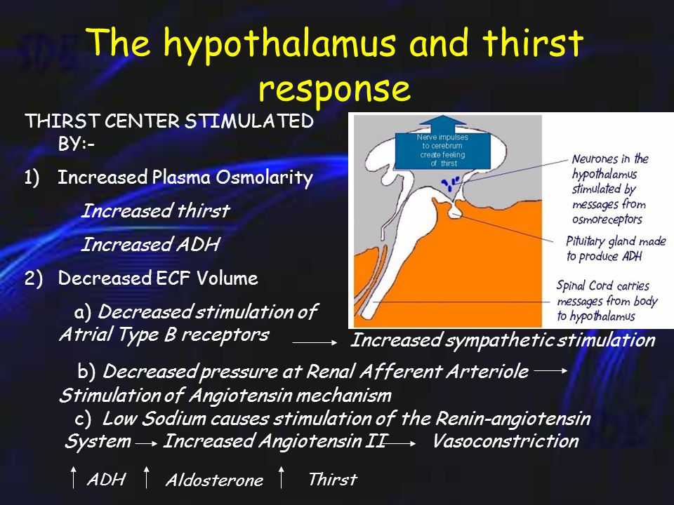 Control of Water Intake In humans, the thirst center is located in the anterior hypothalamus.