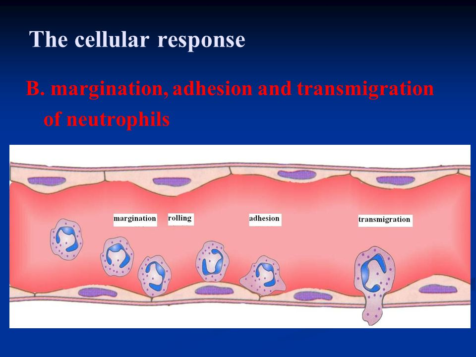 The cellular response B. margination, adhesion and transmigration of neutrophils