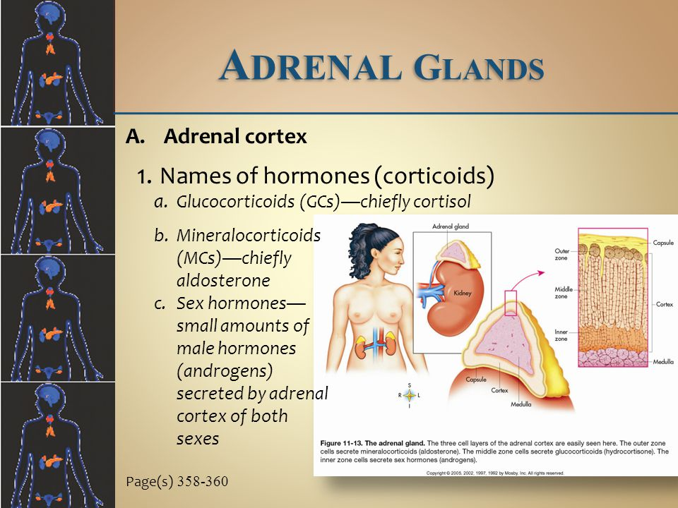 A DRENAL G LANDS b.Mineralocorticoids (MCs)—chiefly aldosterone c.Sex hormones— small amounts of male hormones (androgens) secreted by adrenal cortex of both sexes Page(s) 358-360 A.Adrenal cortex 1.