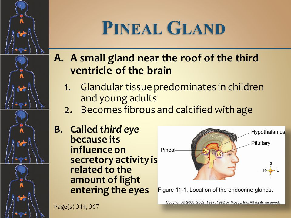 P INEAL G LAND Page(s) 344, 367 B.Called third eye because its influence on secretory activity is related to the amount of light entering the eyes A.A small gland near the roof of the third ventricle of the brain 1.