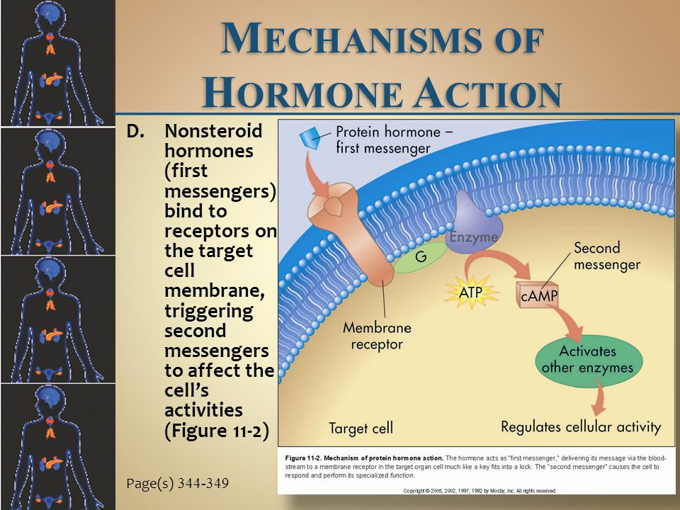 M ECHANISMS OF H ORMONE A CTION Page(s) 344-349 D.Nonsteroid hormones (first messengers) bind to receptors on the target cell membrane, triggering second messengers to affect the cell's activities (Figure 11-2)