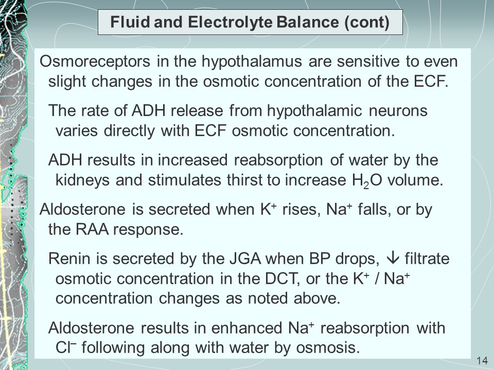 14 Fluid and Electrolyte Balance (cont) Osmoreceptors in the hypothalamus are sensitive to even slight changes in the osmotic concentration of the ECF