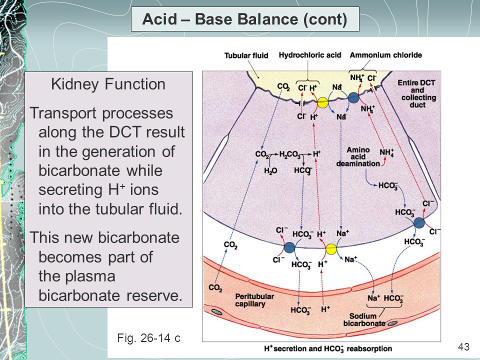 43 Acid – Base Balance (cont) Kidney Function Transport processes along the DCT result in the generation of bicarbonate while secreting H + ions into