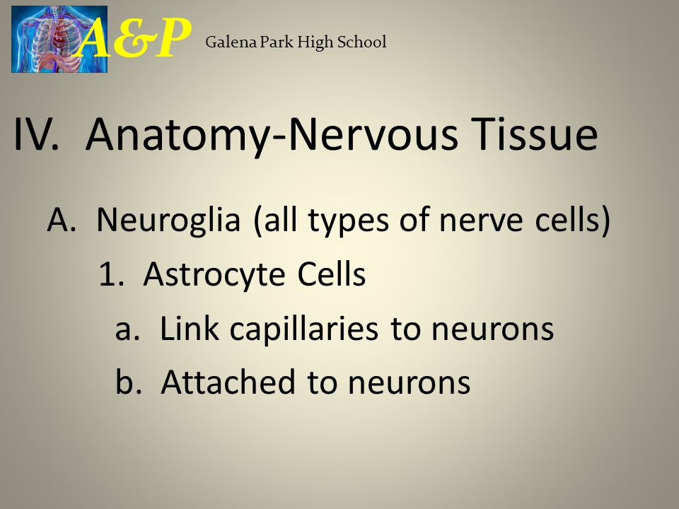 A. Neuroglia (all types of nerve cells) 1. Astrocyte Cells a.