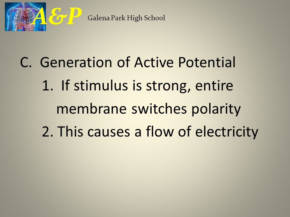 C. Generation of Active Potential 1. If stimulus is strong, entire membrane switches polarity 2.