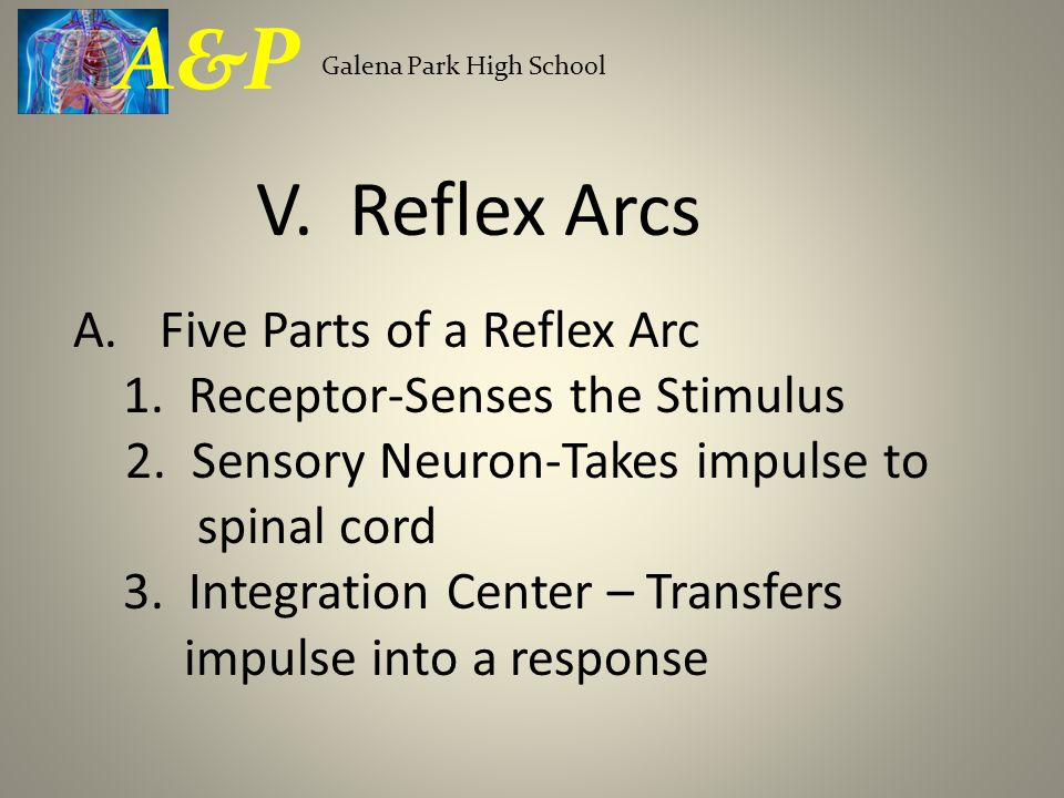 A.Five Parts of a Reflex Arc 1. Receptor-Senses the Stimulus 2.
