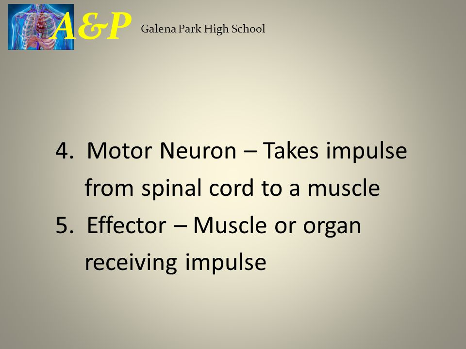 4. Motor Neuron – Takes impulse from spinal cord to a muscle 5.