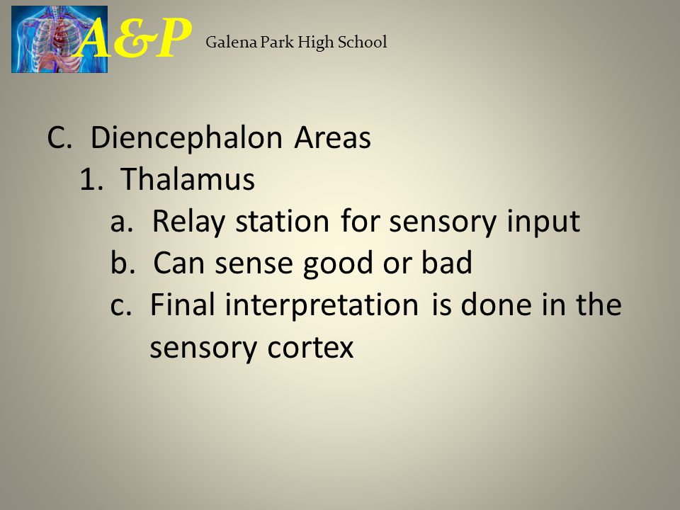 C. Diencephalon Areas 1. Thalamus a. Relay station for sensory input b.