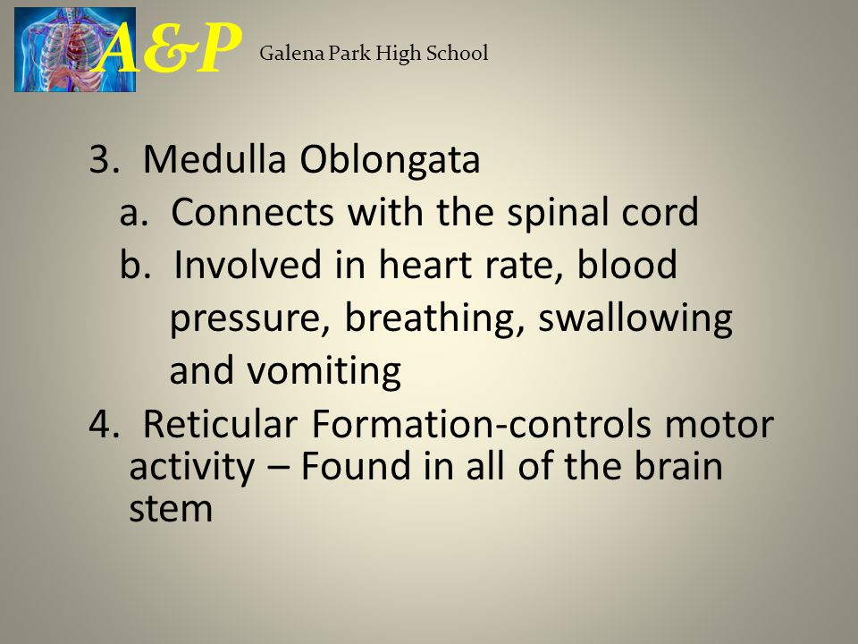 3. Medulla Oblongata a. Connects with the spinal cord b.