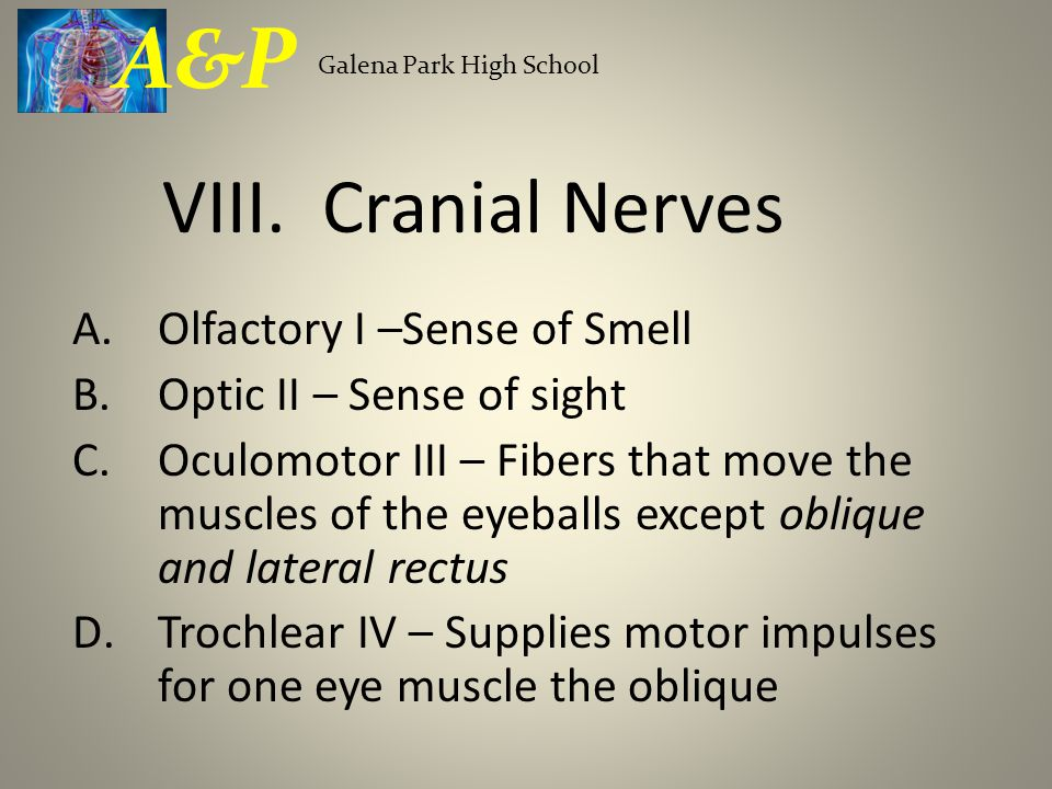 A.Olfactory I –Sense of Smell B.Optic II – Sense of sight C.Oculomotor III – Fibers that move the muscles of the eyeballs except oblique and lateral rectus D.Trochlear IV – Supplies motor impulses for one eye muscle the oblique Galena Park High School A&P VIII.
