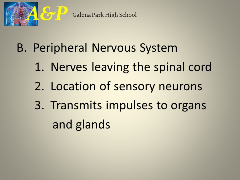 B. Peripheral Nervous System 1. Nerves leaving the spinal cord 2.