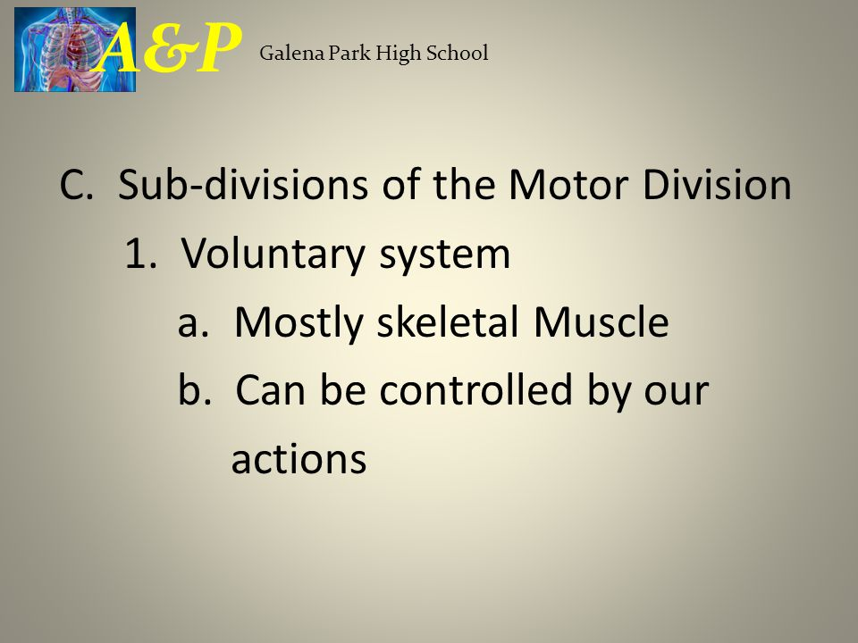 C. Sub-divisions of the Motor Division 1. Voluntary system a. Mostly skeletal Muscle b. Can be controlled by our actions Galena Park High School A&P