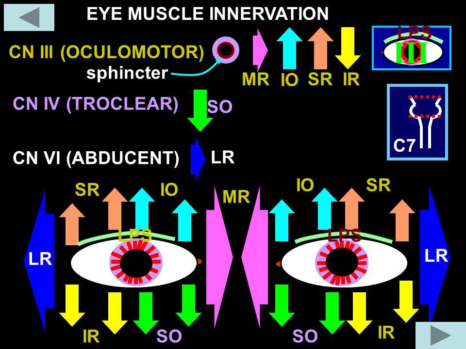 LR MR IO SR SO IR LR CN III (OCULOMOTOR) CN VI (ABDUCENT) CN IV (TROCLEAR) III C7 LPS IO SRIRMR EYE MUSCLE INNERVATION sphincter SO