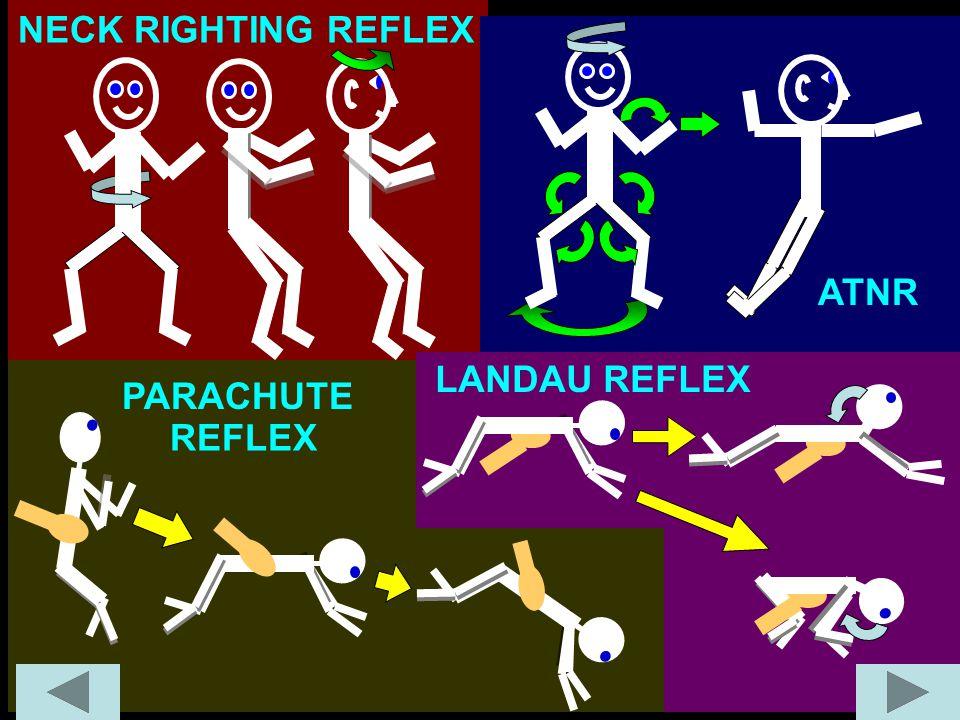LANDAU REFLEX PARACHUTE REFLEX NECK RIGHTING REFLEX ATNR
