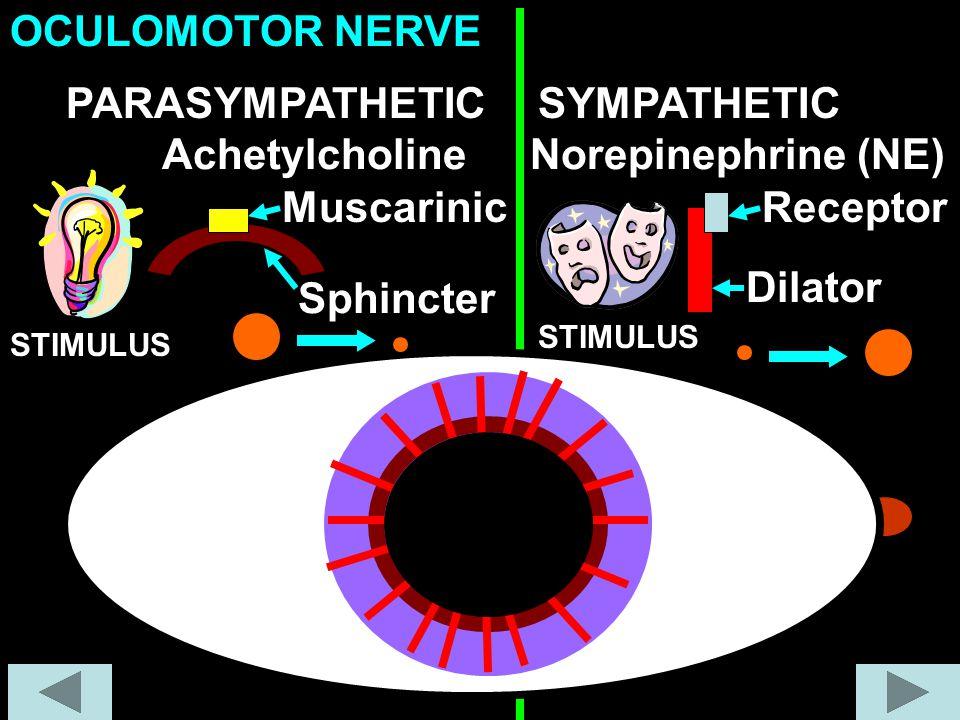 Achetylcholine Muscarinic Sphincter PARASYMPATHETICSYMPATHETIC Norepinephrine (NE) Dilator OCULOMOTOR NERVE STIMULUS Receptor