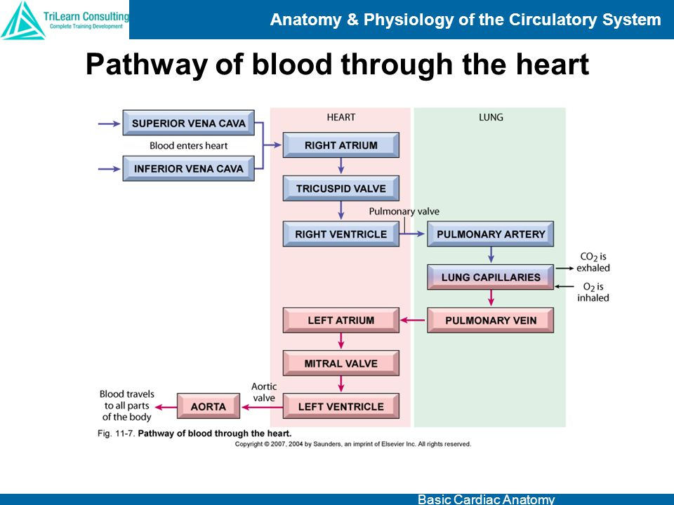 Anatomy & Physiology of the Circulatory System Basic Cardiac Anatomy Pathway of blood through the heart