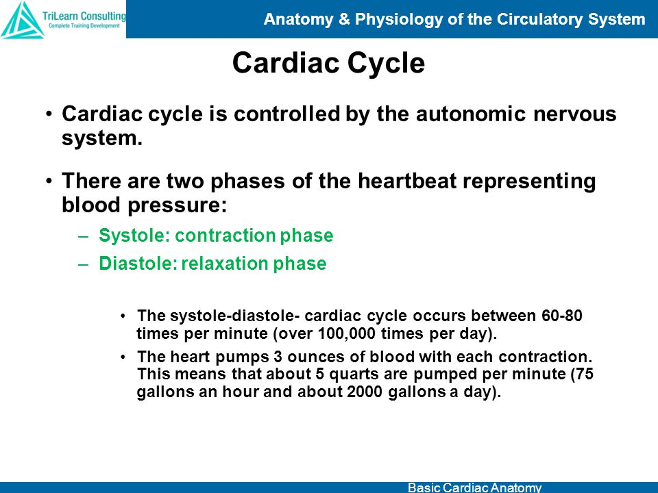 Anatomy & Physiology of the Circulatory System Basic Cardiac Anatomy Cardiac cycle is controlled by the autonomic nervous system. There are two phases