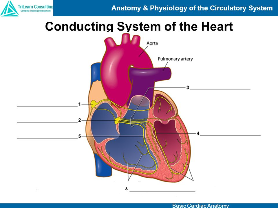 Anatomy & Physiology of the Circulatory System Basic Cardiac Anatomy Conducting System of the Heart