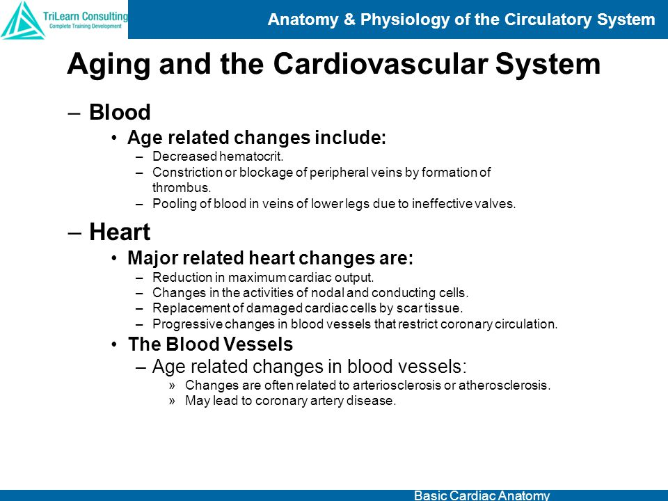 Anatomy & Physiology of the Circulatory System Basic Cardiac Anatomy –Blood Age related changes include: –Decreased hematocrit. –Constriction or block