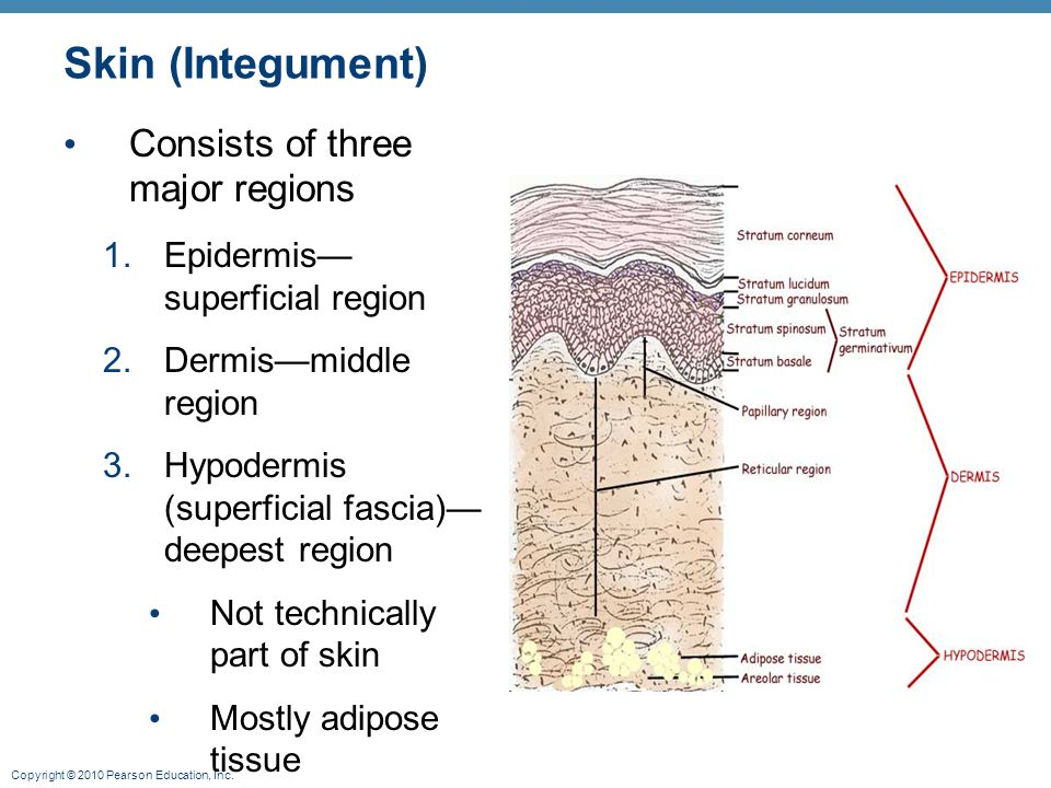 Copyright © 2010 Pearson Education, Inc. Skin (Integument) Consists of three major regions 1.Epidermis— superficial region 2.Dermis—middle region 3.Hy