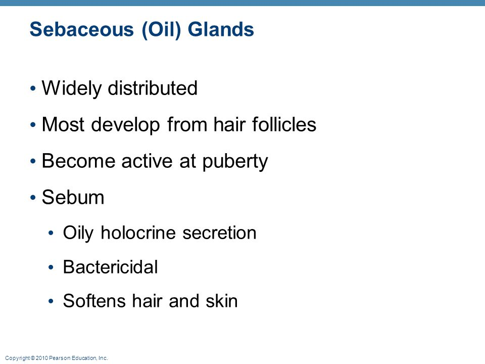 Copyright © 2010 Pearson Education, Inc. Sebaceous (Oil) Glands Widely distributed Most develop from hair follicles Become active at puberty Sebum Oil