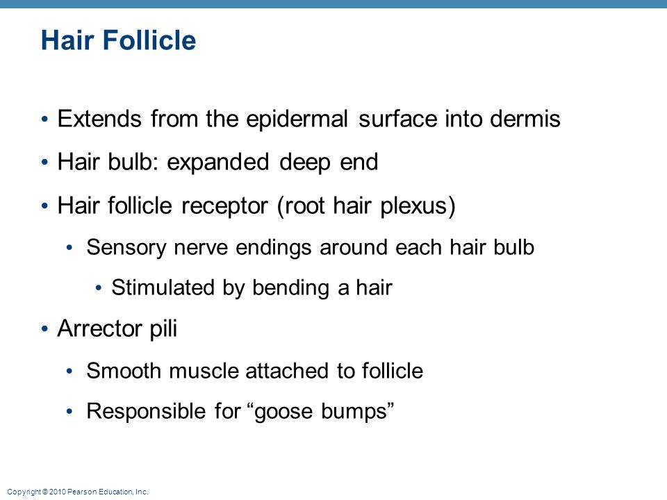 Copyright © 2010 Pearson Education, Inc. Hair Follicle Extends from the epidermal surface into dermis Hair bulb: expanded deep end Hair follicle recep