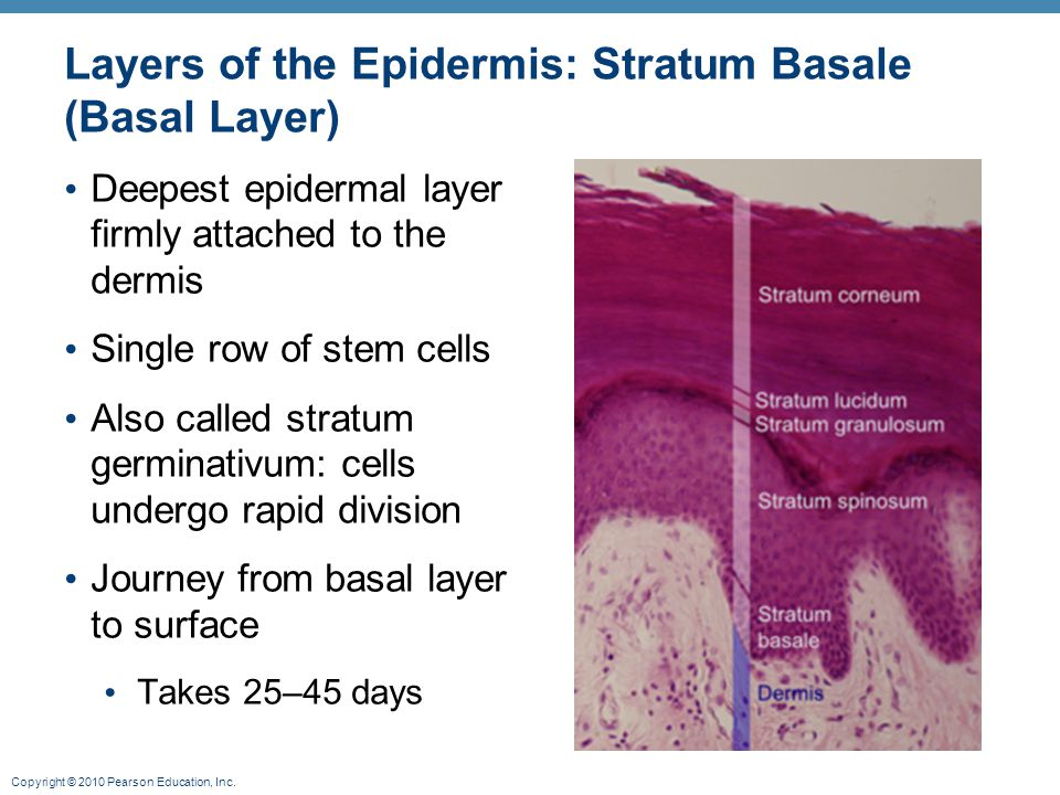 Copyright © 2010 Pearson Education, Inc. Layers of the Epidermis: Stratum Basale (Basal Layer) Deepest epidermal layer firmly attached to the dermis S