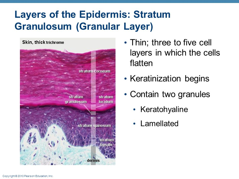 Copyright © 2010 Pearson Education, Inc. Layers of the Epidermis: Stratum Granulosum (Granular Layer) Thin; three to five cell layers in which the cel