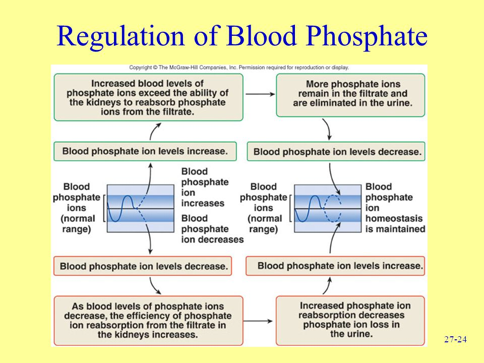 27-24 Regulation of Blood Phosphate