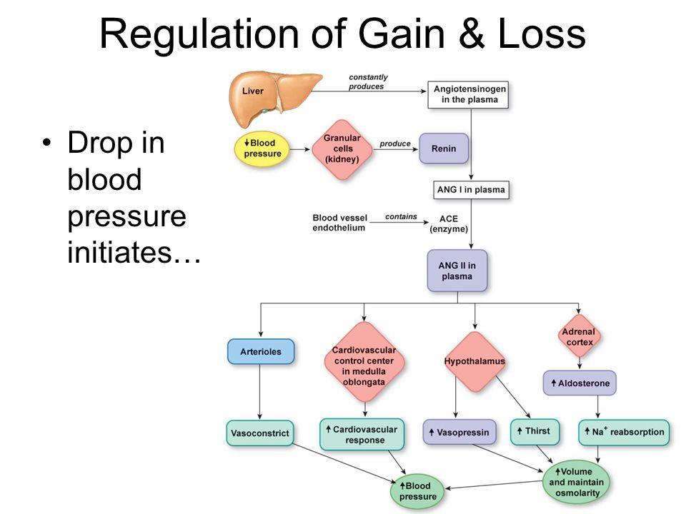 Regulation of Gain & Loss Drop in blood pressure initiates…