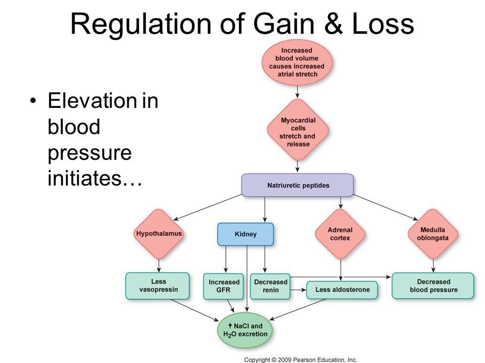 Regulation of Gain & Loss Elevation in blood pressure initiates…