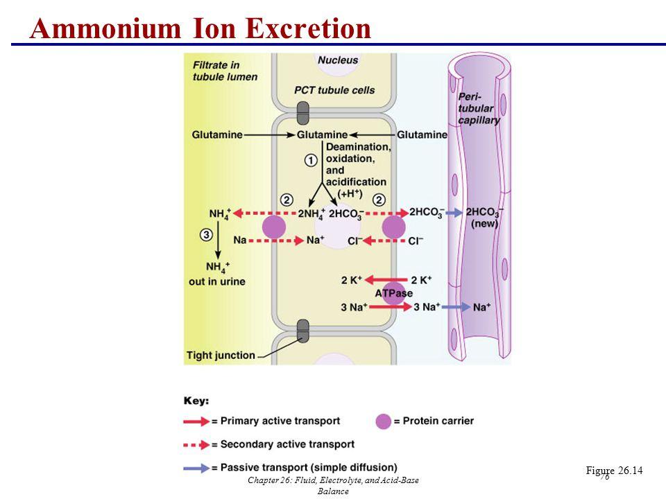Chapter 26: Fluid, Electrolyte, and Acid-Base Balance 76 Ammonium Ion Excretion Figure 26.14