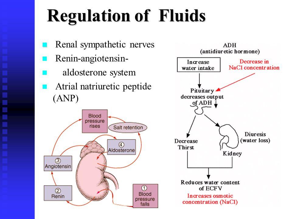 Renal sympathetic nerves Renin-angiotensin- aldosterone system Atrial natriuretic peptide (ANP)